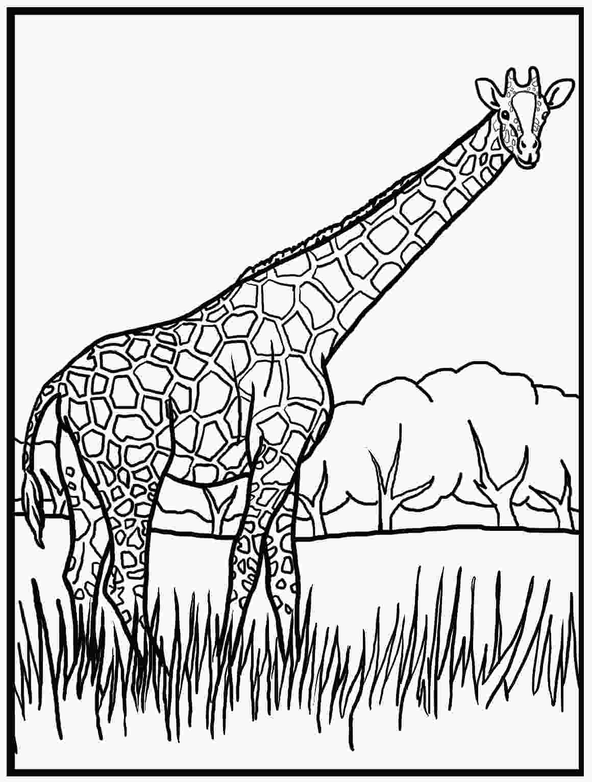 giraffe coloring free printable giraffe coloring pages for kids