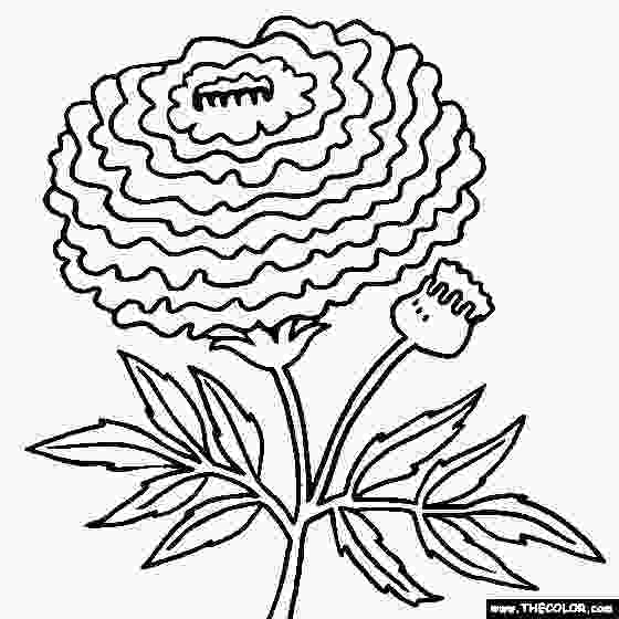 marigold flower coloring pages marigold flower coloring page tagetes coloring