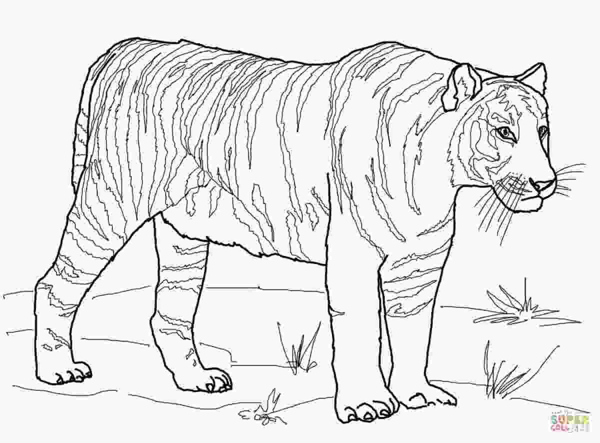 saber tooth tiger coloring pages saber tooth tiger coloring page at getcoloringscom free 1