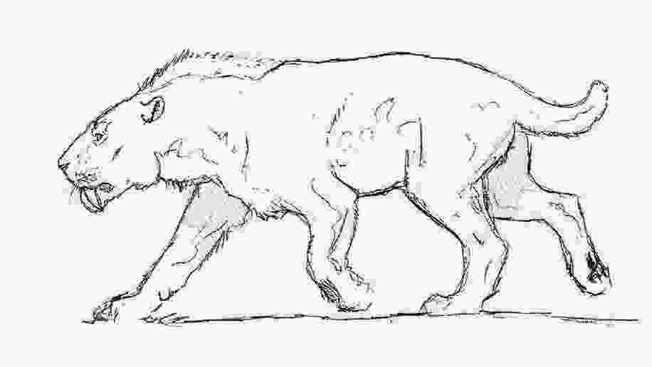 saber tooth tiger coloring pages smilodon pages coloring pages