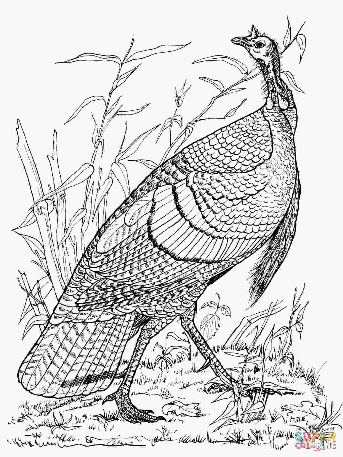 wild turkey coloring pages printable wild turkey hen coloring page free printable coloring pages