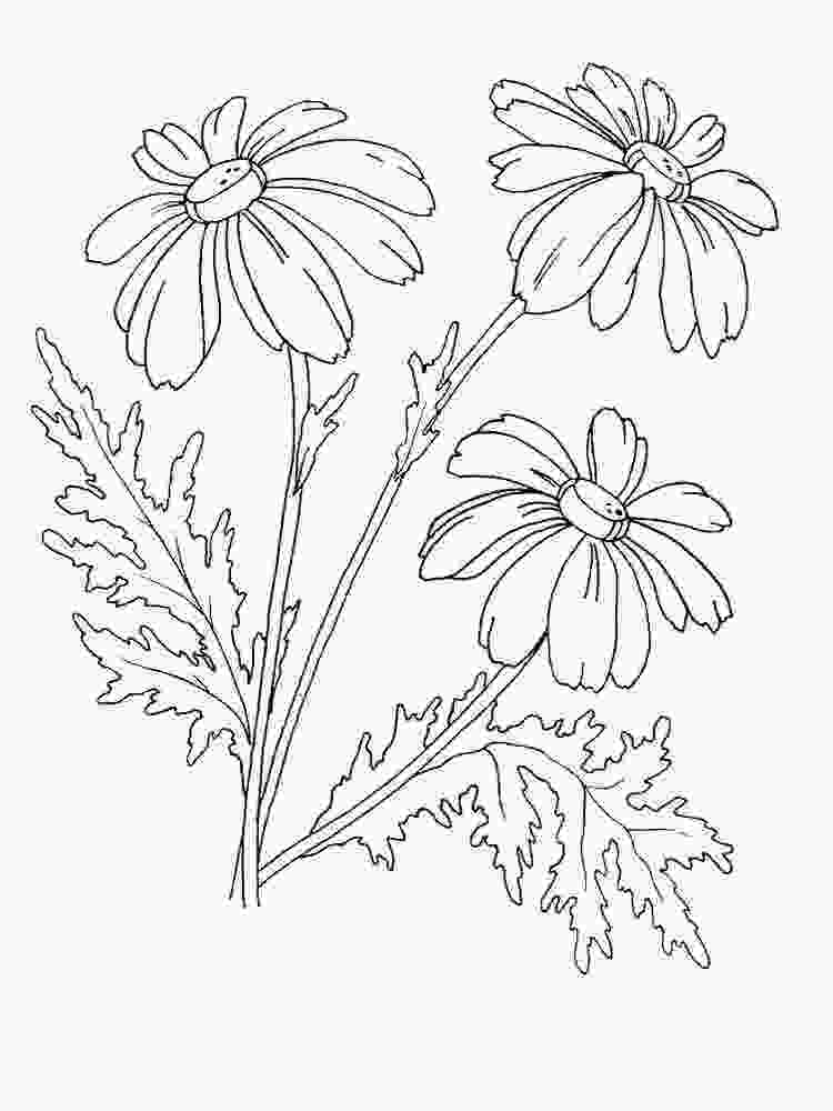 cars mcqueen coloring pages chamomile flower coloring pages download and print chamomile flower coloring pages