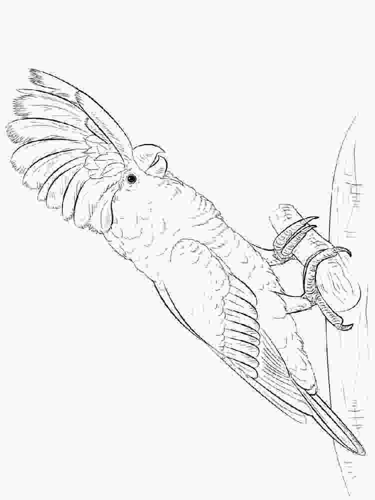 cars mcqueen coloring pages cockatoo coloring pages download and print cockatoo coloring pages