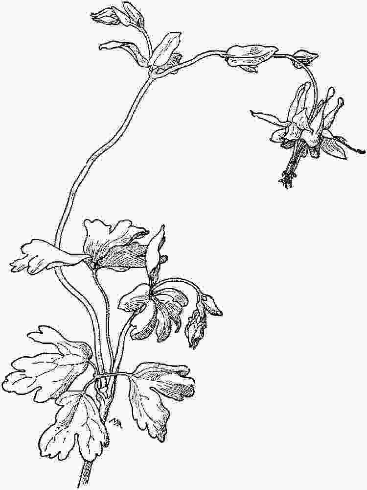 cars mcqueen coloring pages columbine flowers coloring pages download and print columbine flowers coloring pages
