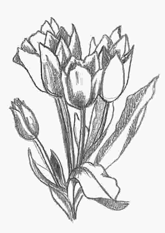 drawing tulips flower sketches