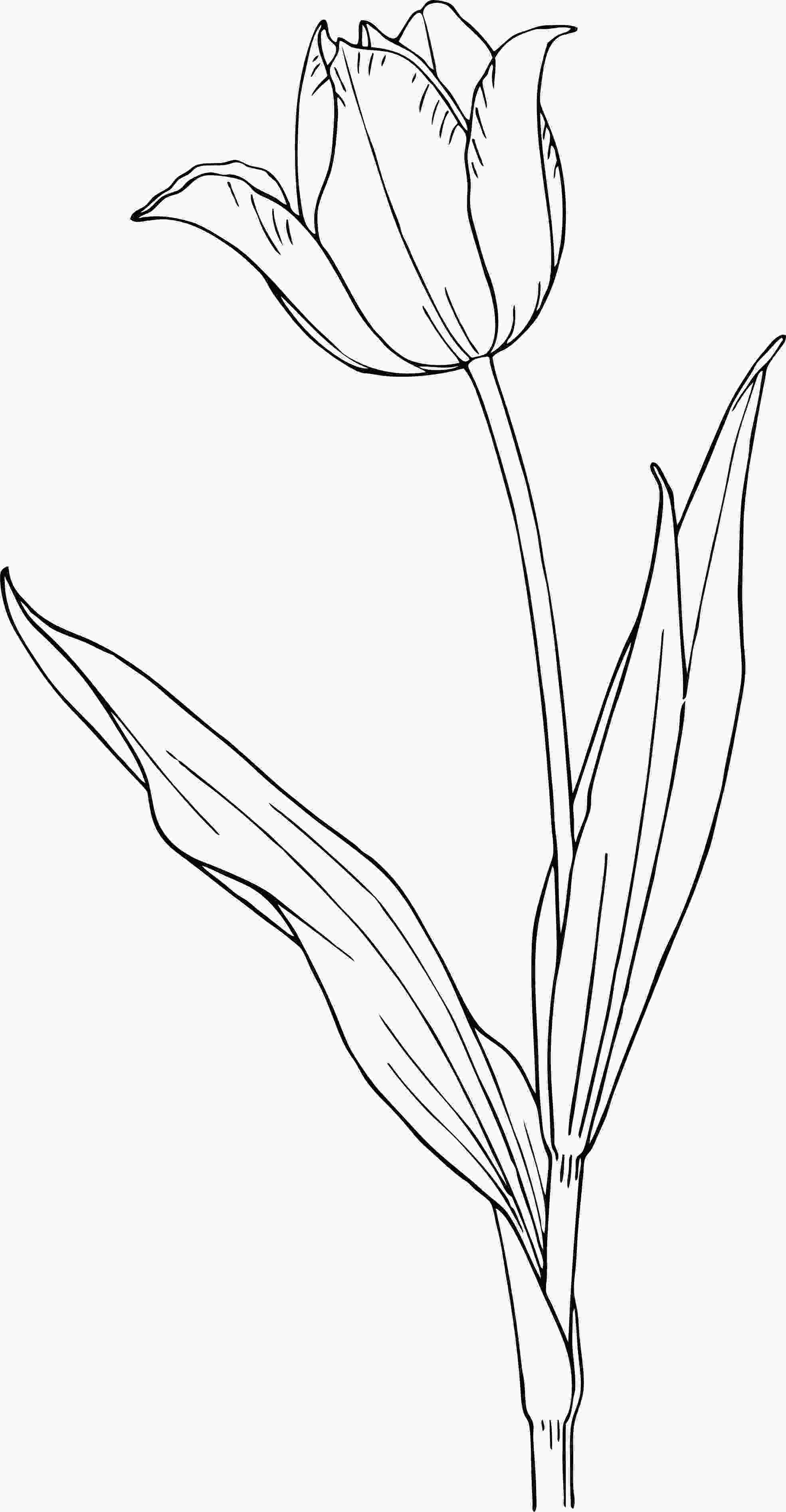 drawing tulips free printable tulip coloring pages for kids