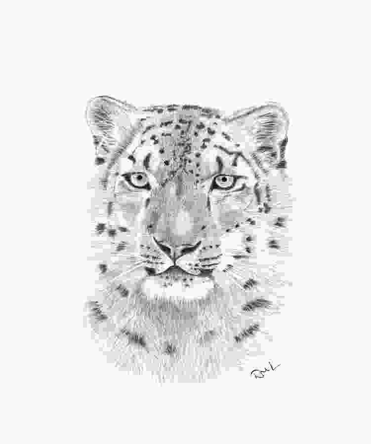 snow leopard drawings snow leopard drawing by rosanna maria