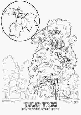 tennessee state bird tennessee state tree coloring page free printable