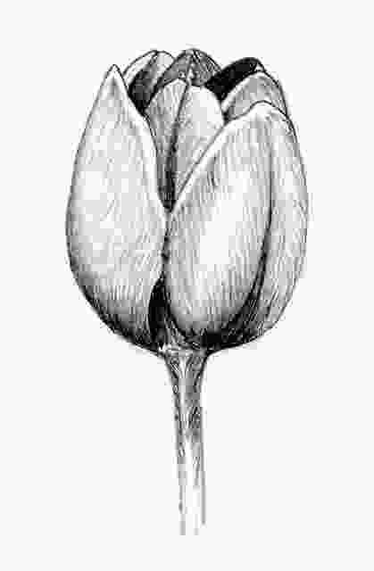 tulip sketch pin by roxie bishop on drawing pinterest tulip drawing