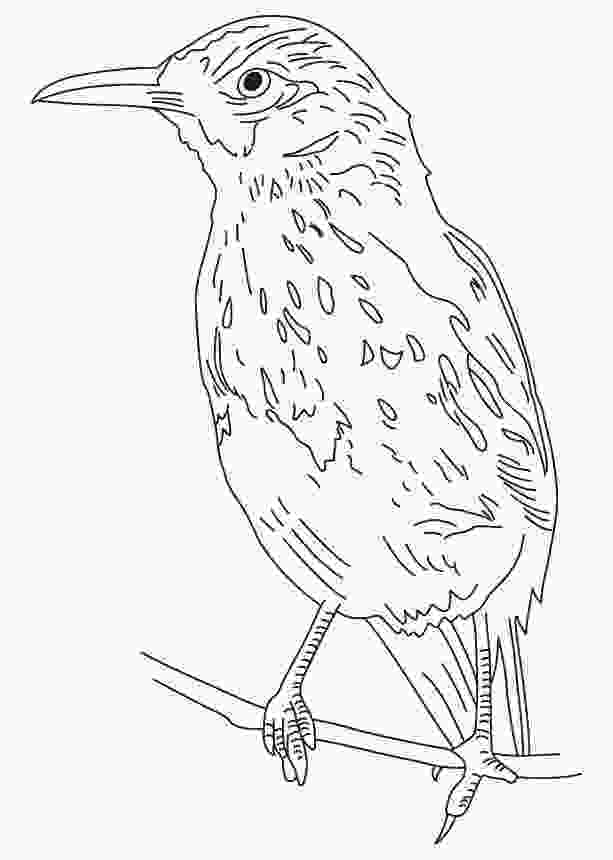 cuckoo bird pictures color bold brown thrasher coloring page download free bold