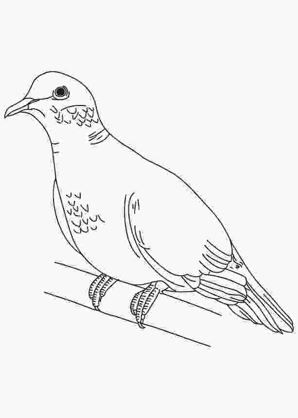 cuckoo bird pictures color mourning dove coloring page download free mourning dove