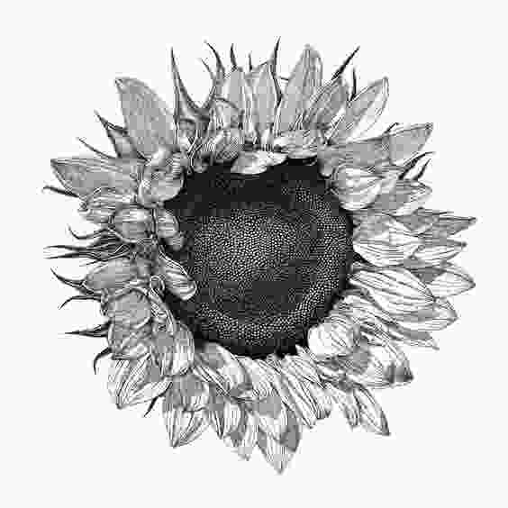 drawing of sunflower black and white botanical drawings sunflower google