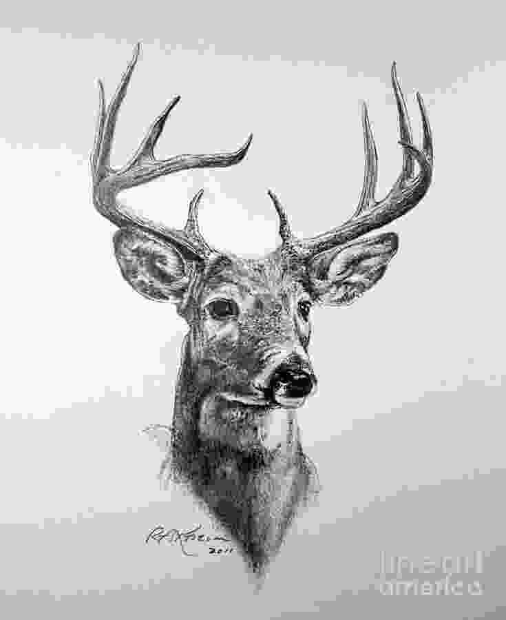 how to draw a deer head drawn stag deer head pencil and in color drawn stag deer