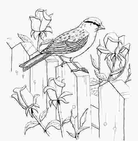 sparrow coloring page chipping sparrow and roses coloring page clip art paper
