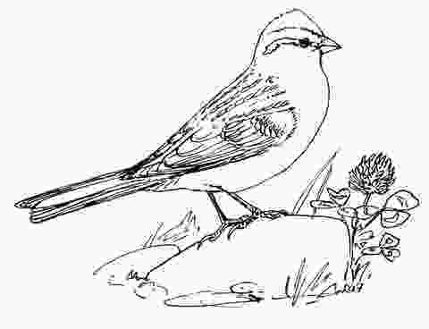 sparrow coloring page chipping sparrow coloring page free printable coloring pages