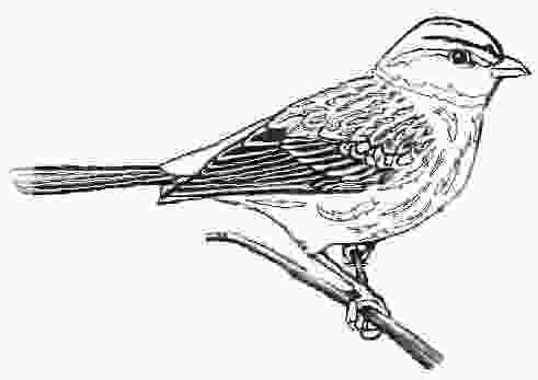 sparrow coloring page facts about the song sparrow
