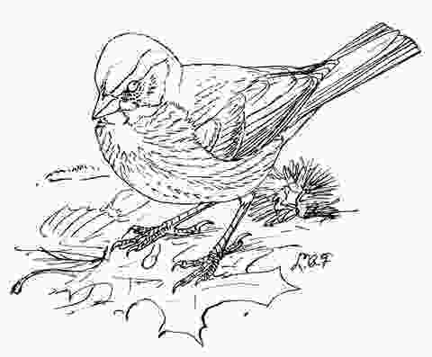 sparrow coloring page fox sparrow coloring page free printable coloring pages