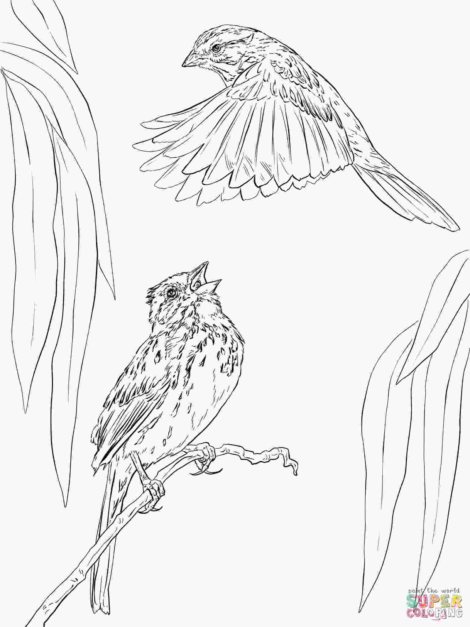 sparrow coloring page two song sparrows coloring page free printable coloring