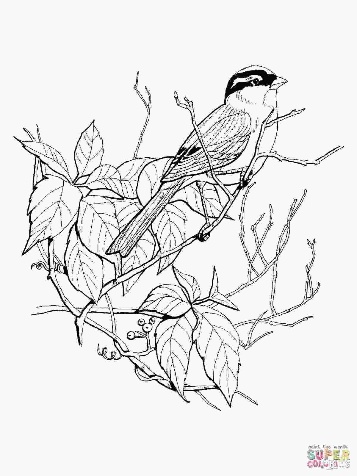 sparrow coloring page white crowned sparrow coloring page free printable
