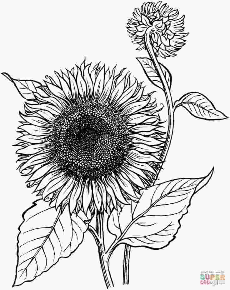 coloring printable sunflower blooming sunflower coloring page supercoloringcom