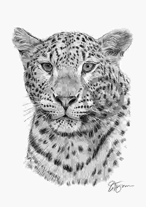 leopard drawing worldwide page gallery of signed artwork prints for african big cats