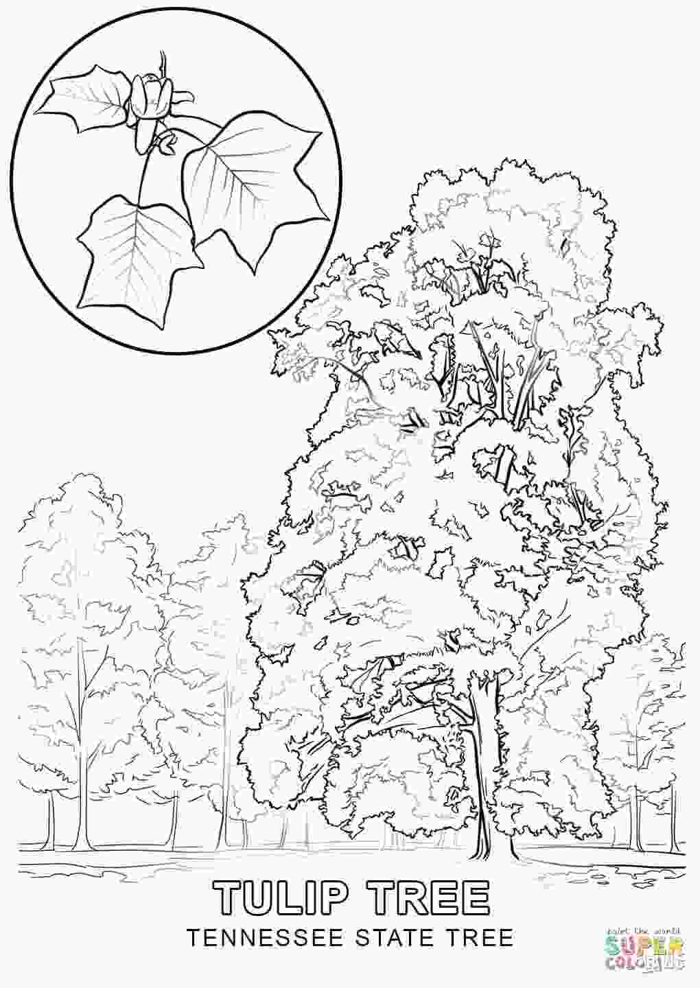 new york state tree tennessee state tree coloring page free printable