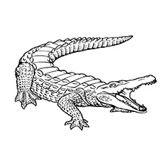 alligator coloring page top 25 free printable alligator coloring pages online alligator page coloring