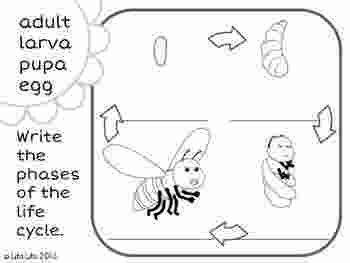 bee life cycle coloring page 42 best life science domestic animals images on pinterest