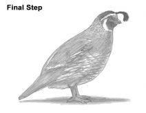 how to draw a california quail step by step how to draw a quail a step how quail step by to california draw