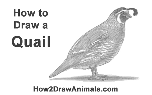 how to draw a california quail step by step how to draw a quail step to draw california quail a how step by