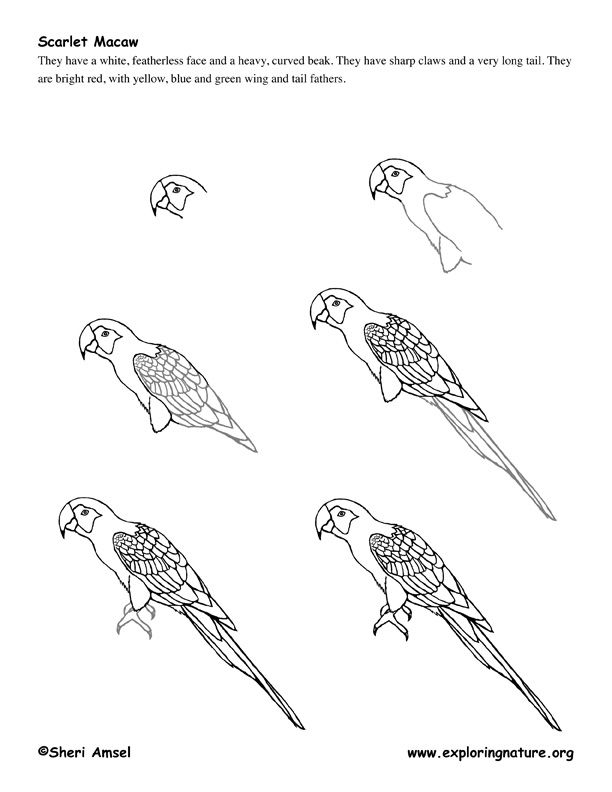 how to draw a california quail step by step httpwwwexploringnatureorggraphicsdrawingmacaw step by quail how draw step california to a