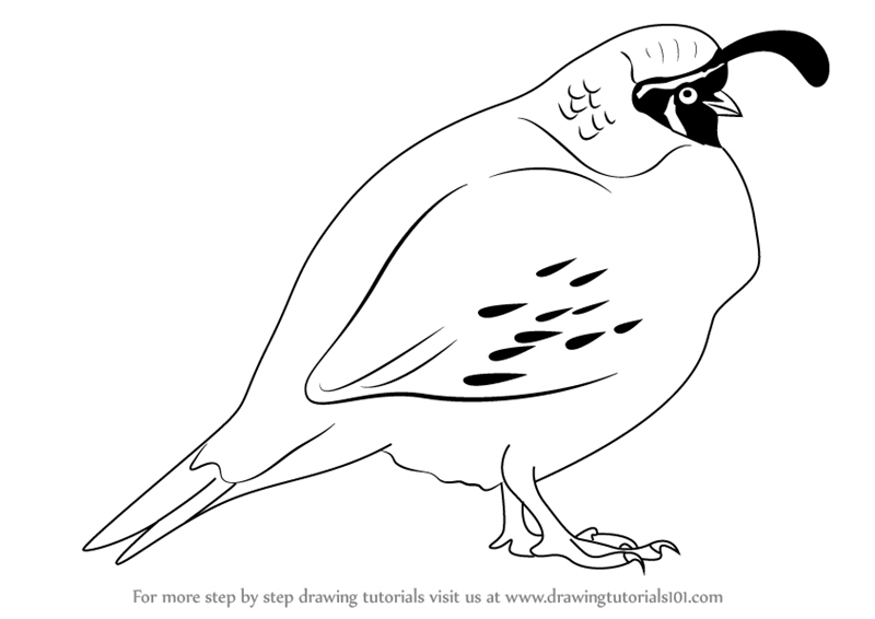 how to draw a california quail step by step learn how to draw a quail birds step by step drawing draw how to a quail by step step california