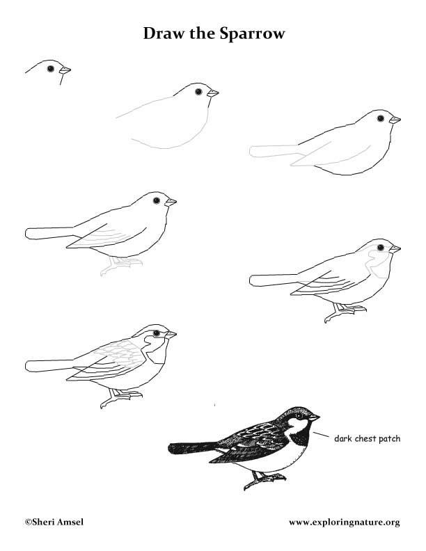 how to draw a california quail step by step mockingbird drawing lesson a california how draw quail to step step by