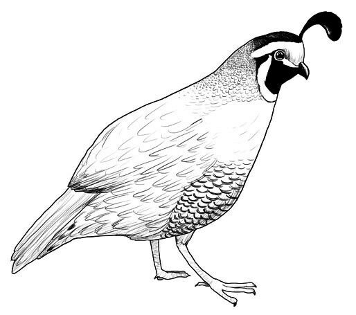 how to draw a california quail step by step pin by susan carrell on bobwhite and quails sketches quail step a by how to draw step california