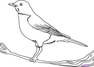 how to draw a california quail step by step tag for draw pictures of birds how to draw a realistic step draw a how to by quail california step