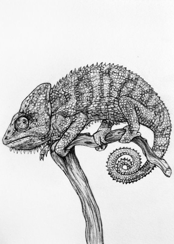 chameleon drawings of chameleons and drawing corvus tristis science craft drawings chameleon