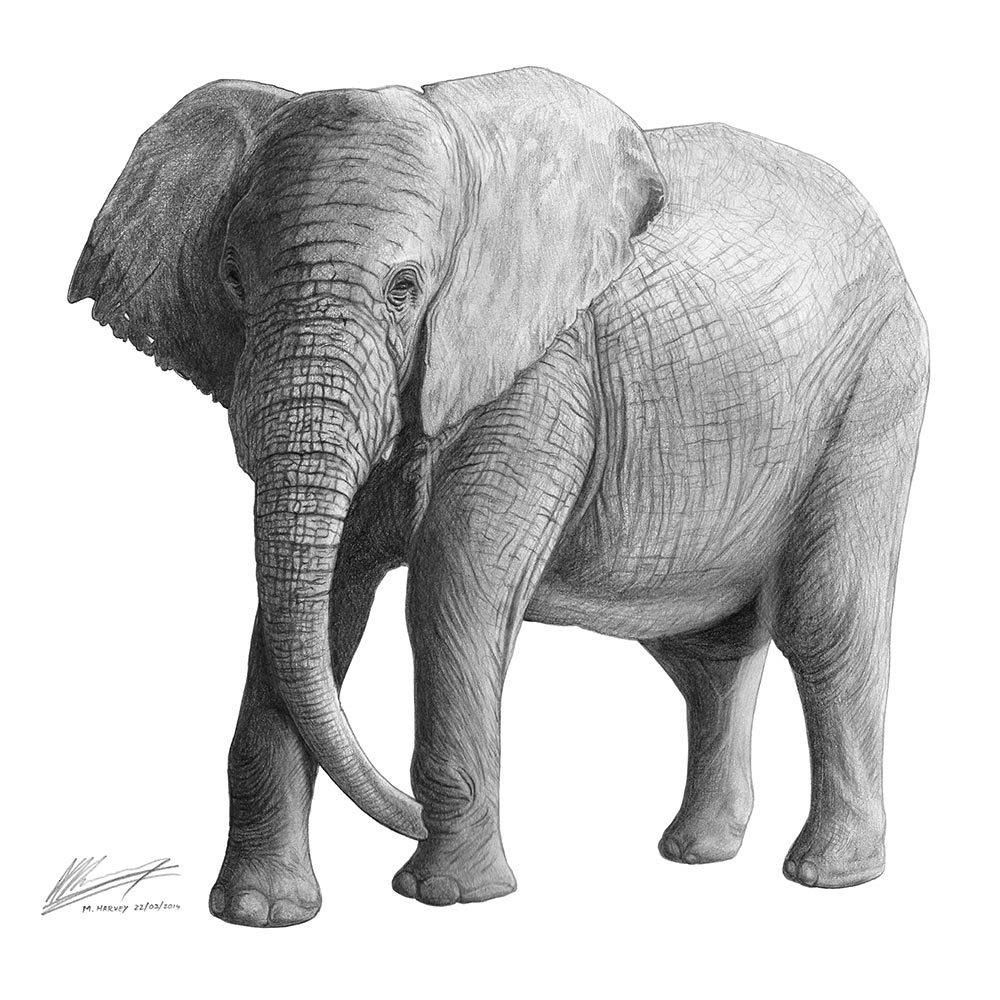 african elephant drawing african elephant drawing by sue tatham saatchi art drawing elephant african