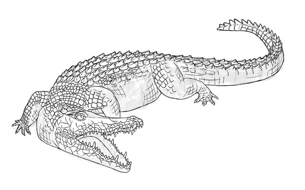 alligator drawing how to draw animals crocodiles alligators caimans and drawing alligator