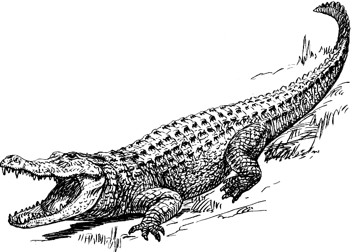 alligator drawing learn how to draw an american alligator reptiles step by alligator drawing