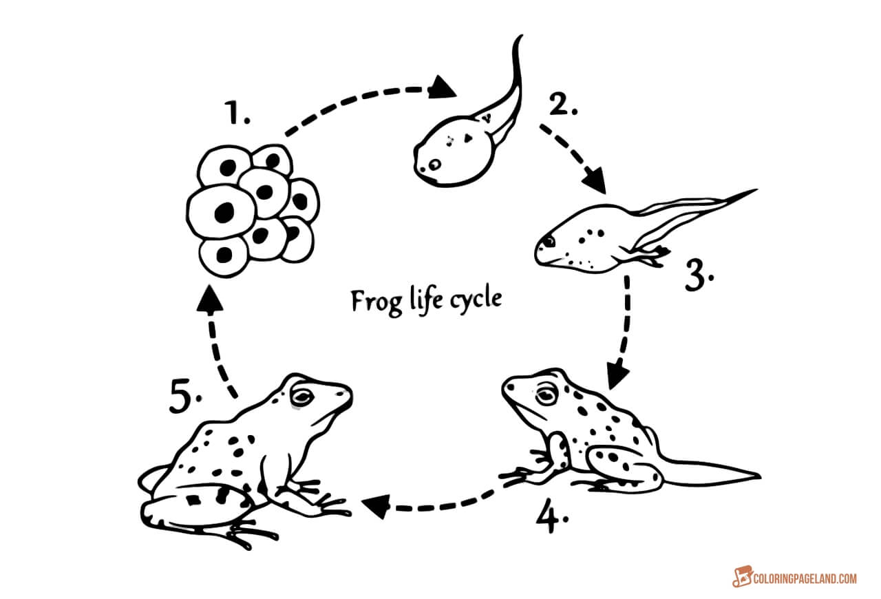 coloring frog cycle life cycle of a frog drawing at getdrawings free download frog cycle coloring