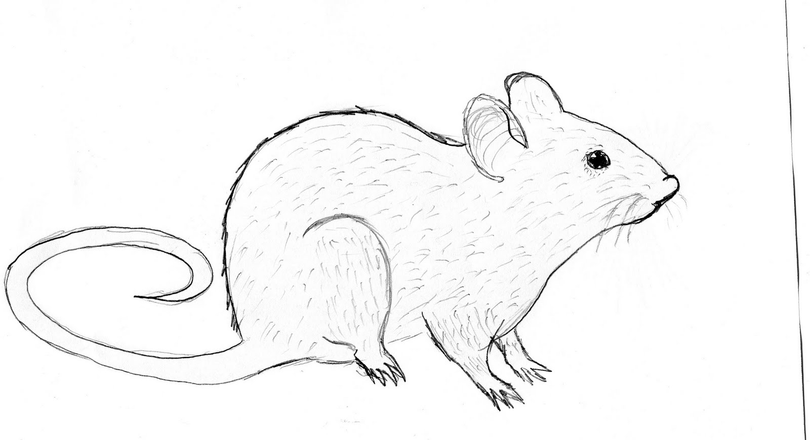 drawing of rat sustainability rat drawing of drawing rat