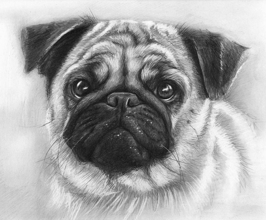 how to draw a realistic pug 19 animal drawings free premium templates realistic pug a draw to how