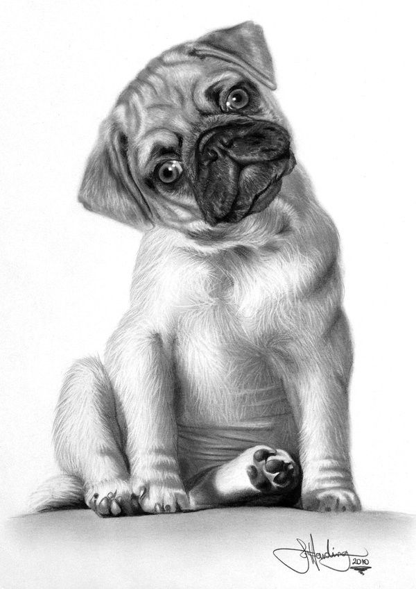 how to draw a realistic pug how to draw a realistic pug step by step pets animals how pug draw a to realistic