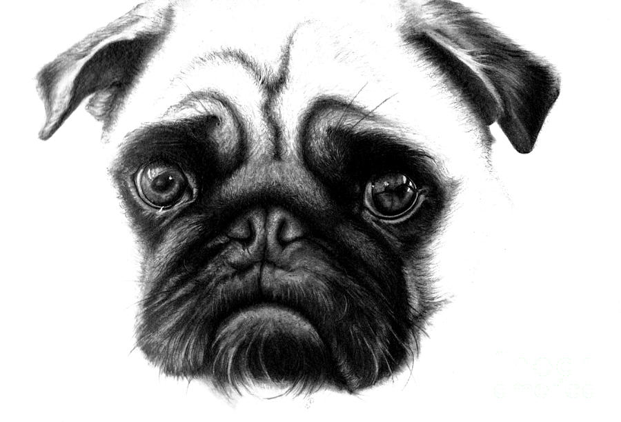 how to draw a realistic pug how to draw a realistic pug step by step pets animals to pug draw realistic a how