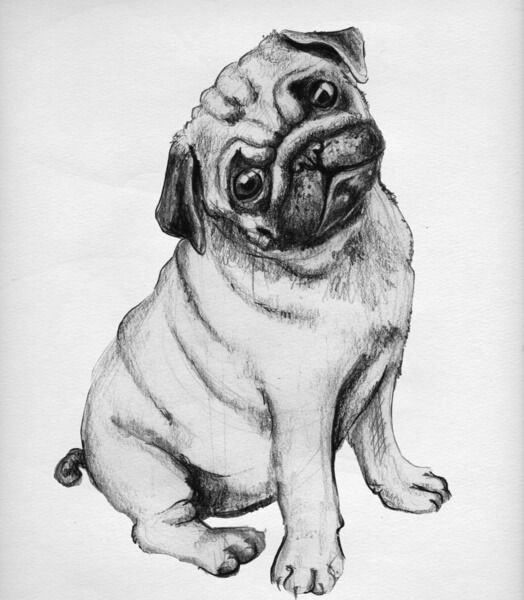 how to draw a realistic pug pug by vipinraphel on deviantart a draw pug to realistic how