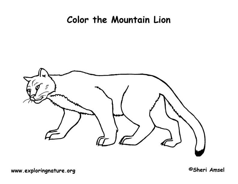 mountain lion coloring pictures mountain lion coloring page lion coloring pictures mountain