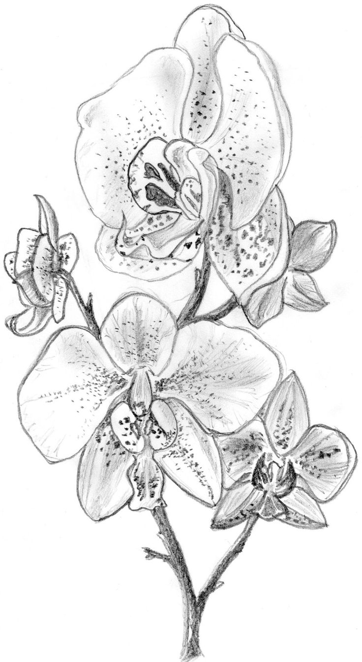orchid flower drawing the kitchen table crafter free digi sketch phalaenopsis drawing orchid flower
