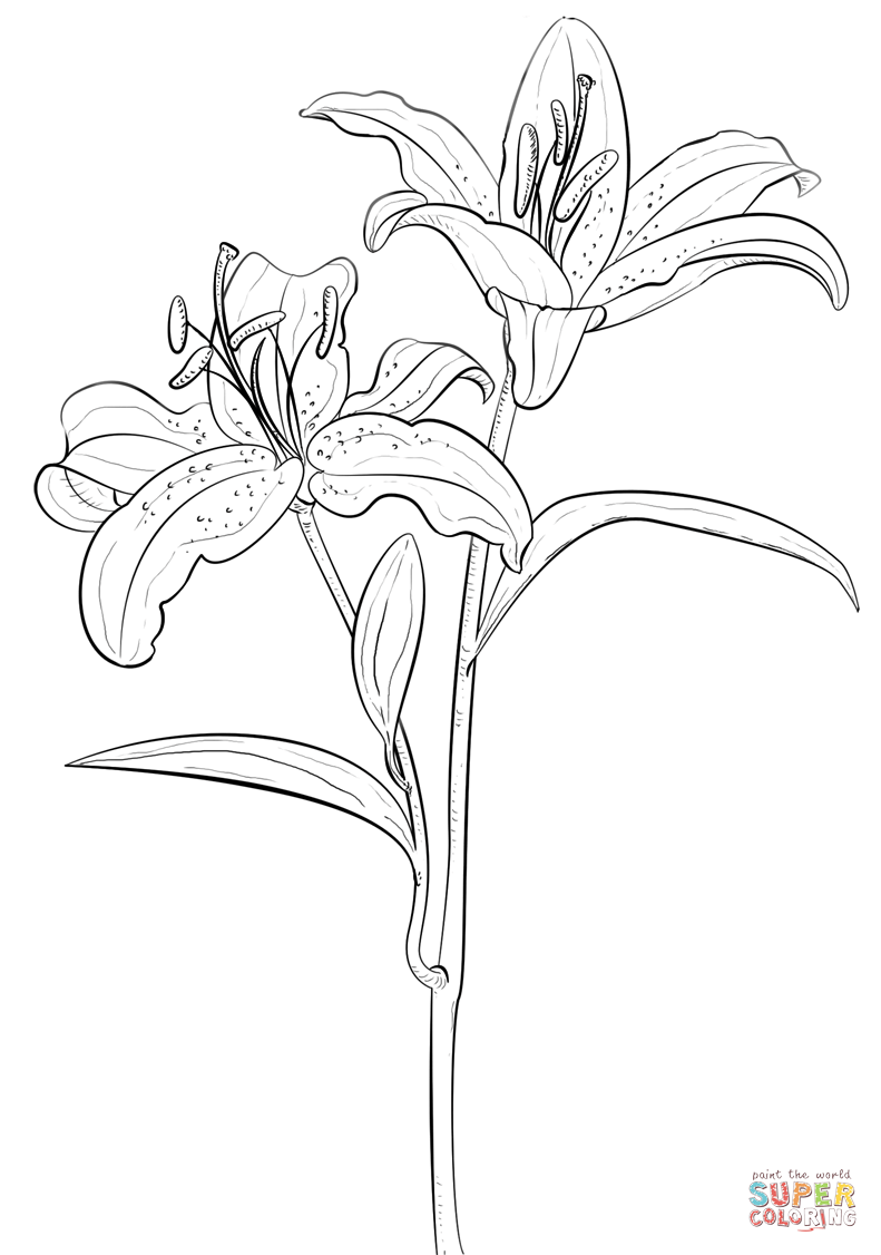 tiger lily coloring pages flowers to color flower drawing lily tiger coloring pages