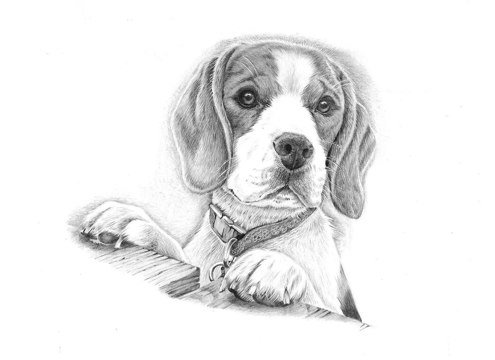 beagle drawing beagle on the hunt drawing by rob christensen drawing beagle