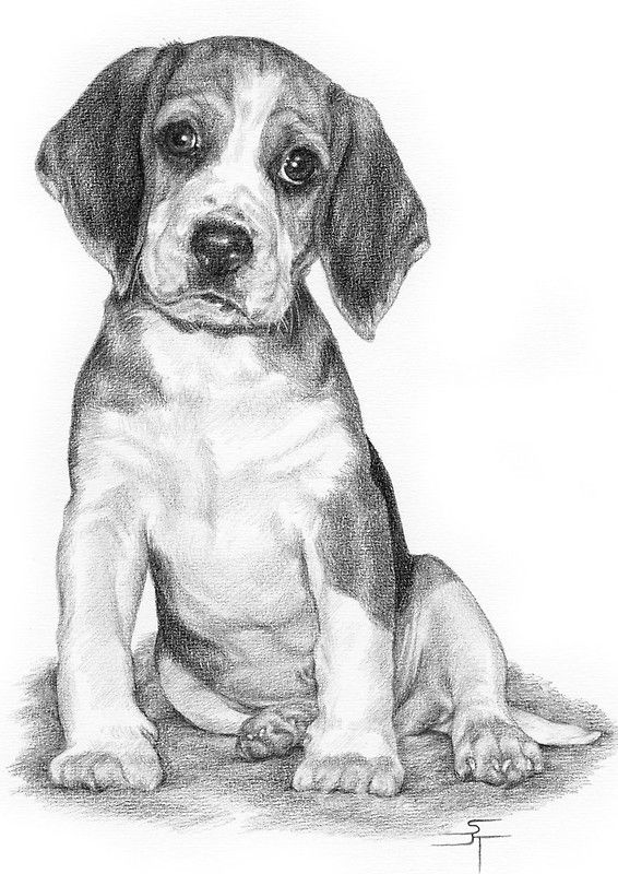 beagle drawing drawing i did of my beagle for inktober beagle beagle beagle drawing